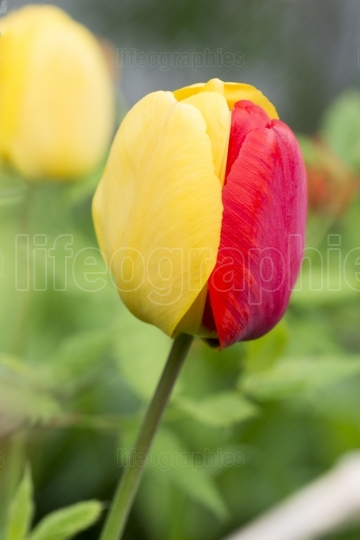 Beautiful red and yellow tulip