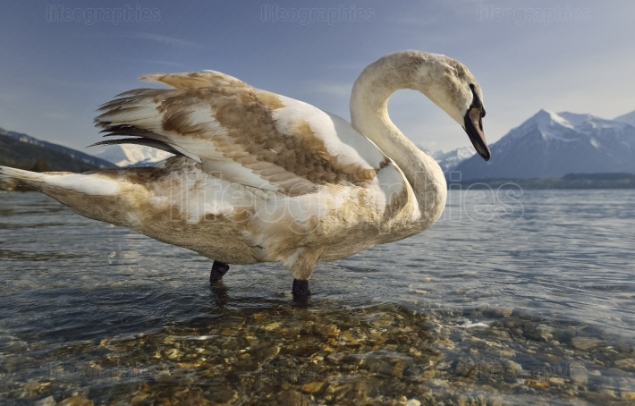 Beautiful Swan on Thun Lake
