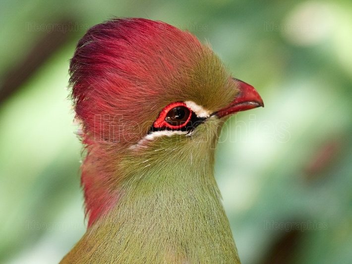 Beautiful tropical bird   Fischer s turaco (Tauraco fischeri)