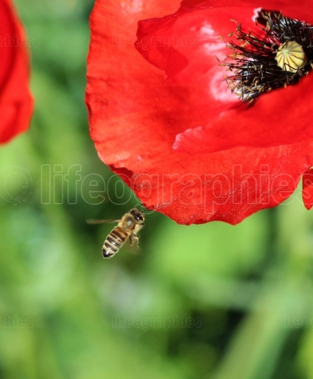 Bee on a poppy flower