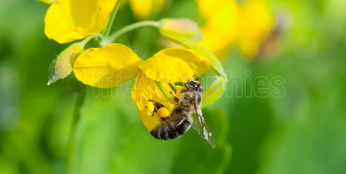 Bee on a St. John's wort herb