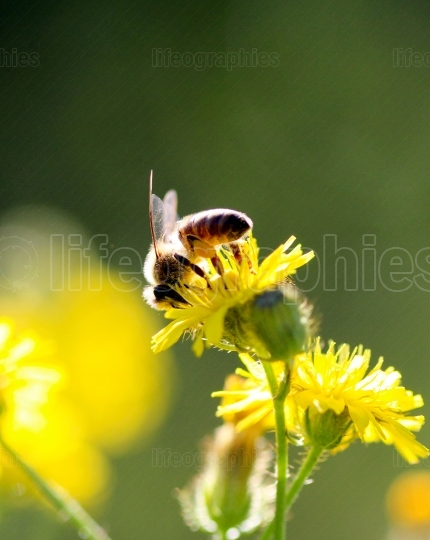 Bee on a yellow flower on a morning sun