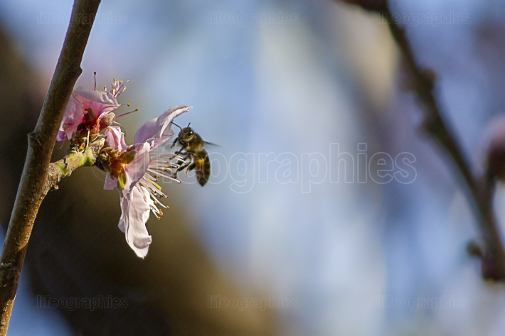Bee on the flower of a nectarine