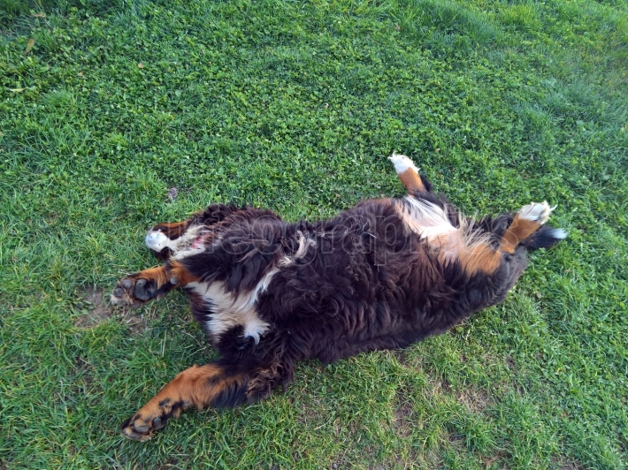 Bernese Mountain Dog lied down in the grass