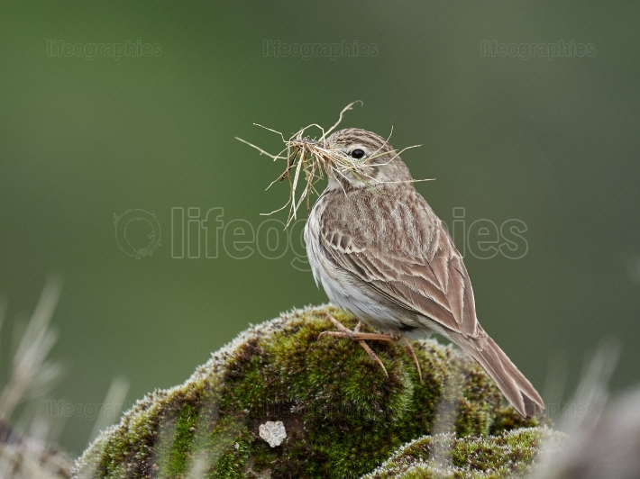 Berthelot's Pipit (Anthus berthelotii) in natural habitat