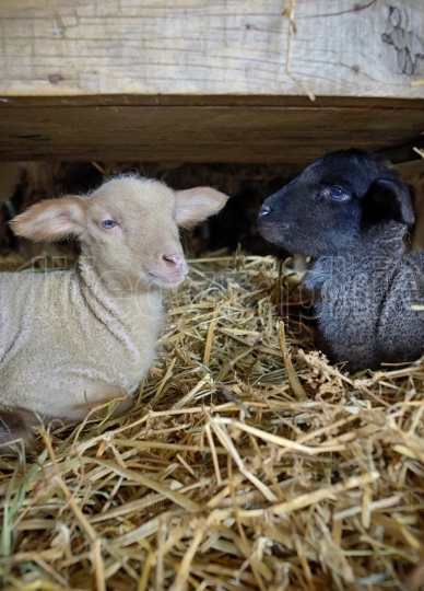Black and white lambs in a stable
