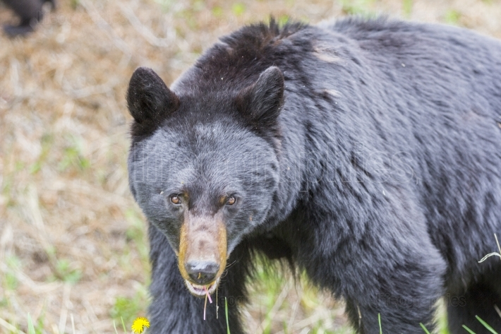 Black bear looking at you, focus on his eyes