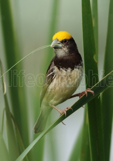 Black breasted weaver