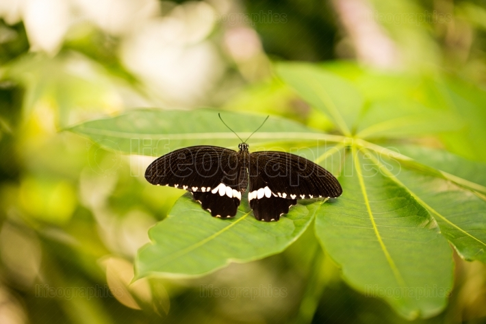 Black butterfly on a leaf