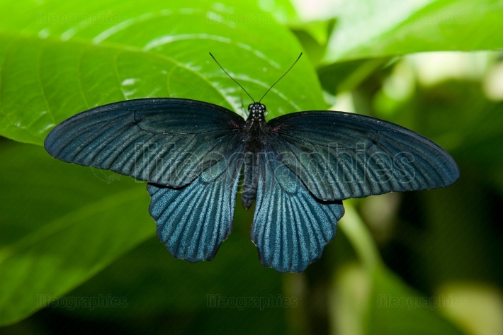 Black butterfly over green leaf