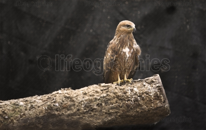 Black kite young