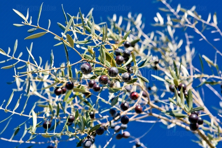 Black olives branch