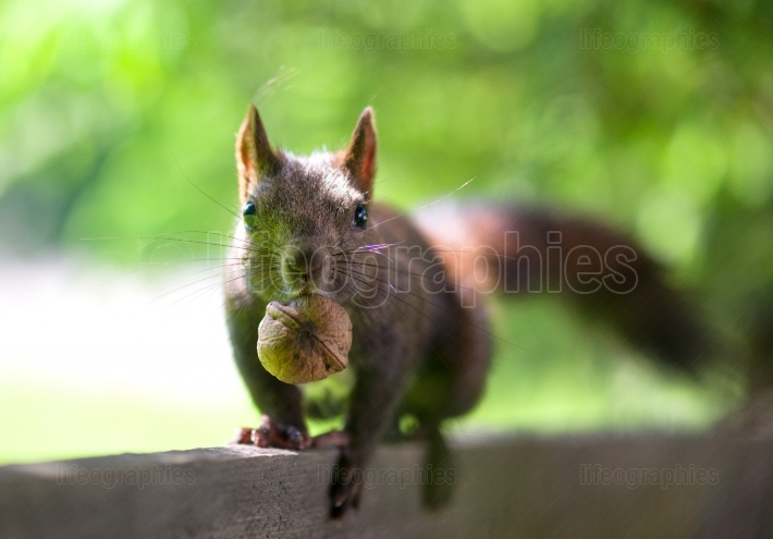Black squirrel with a nut in its mouth on a fence