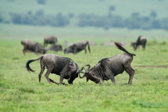 Black wildebeest or white-tailed gnu (Connochaetes gnou) in Tanz