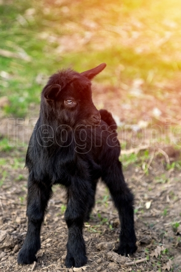Black young goat in pasture looking at the camera