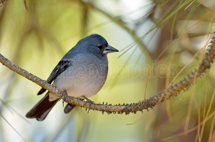 Blue chaffinch (fringilla teydea) in natural habitat