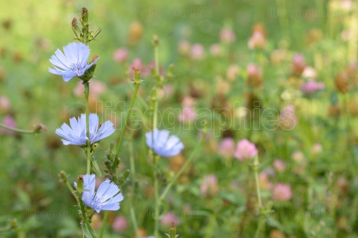 Blue chicory herb in summer