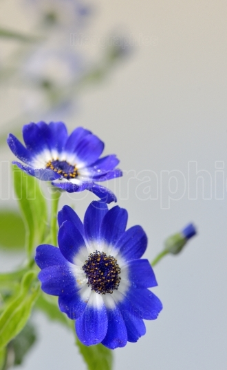 Blue cineraria flowers