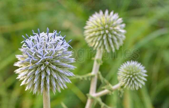 Blue globe thistle (Echinops) flowers