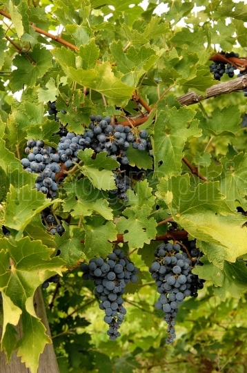 Blue grapes in a wine yard in Canada.