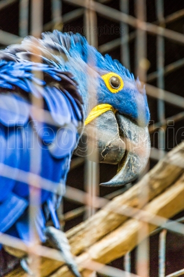Blue Hyacinth macaw parrot in zoo.