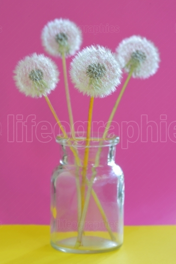 Bouquet of dandelions in vase