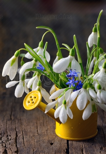 Bouquet of snowdrops in small watering can