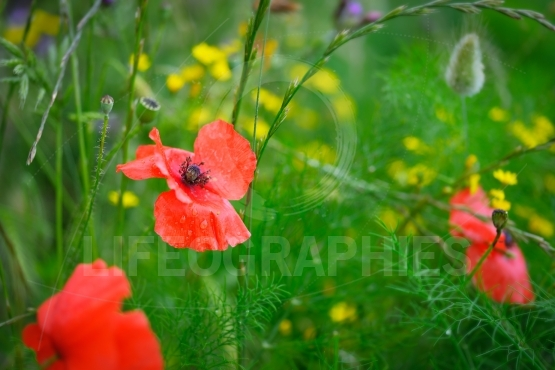 Bright red poppy and wild fenel in the field