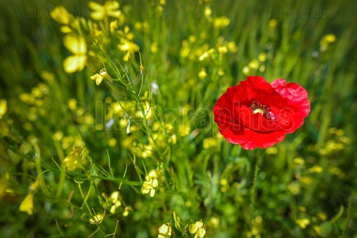 Bright red poppy in the field