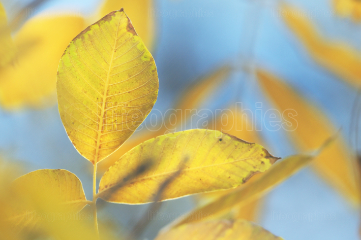 Bright Yellow Walnut Leaves Against Blue Sky