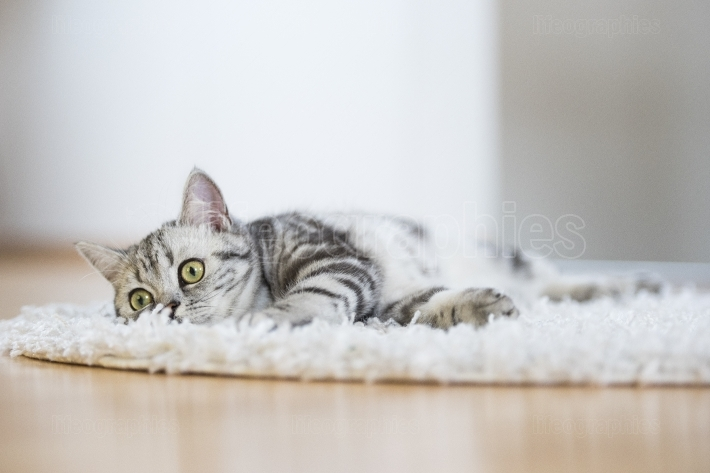 British short hair cat lying on fur rug