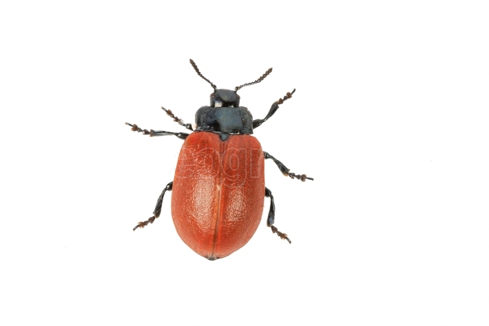 Broad shouldered leaf beetle Chrysomela populi on a white background