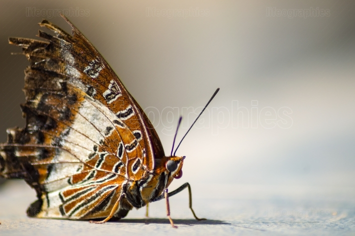 Brown and white butterfly laying on the ground in a tropical gar