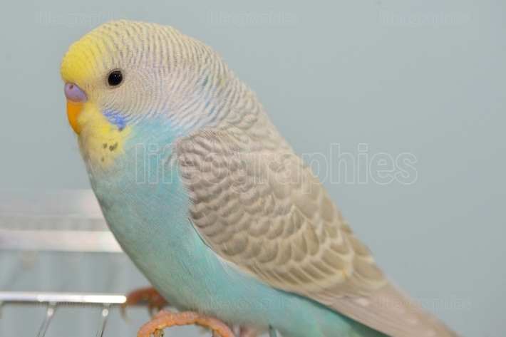 Budgerigar parrot in his cage