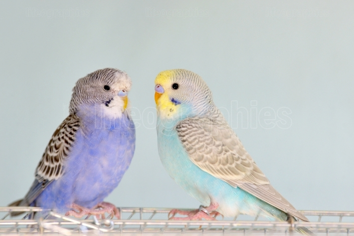 Budgerigar parrots on cage