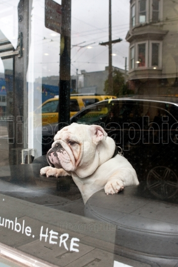 Bulldog balances between stools to see out window of business