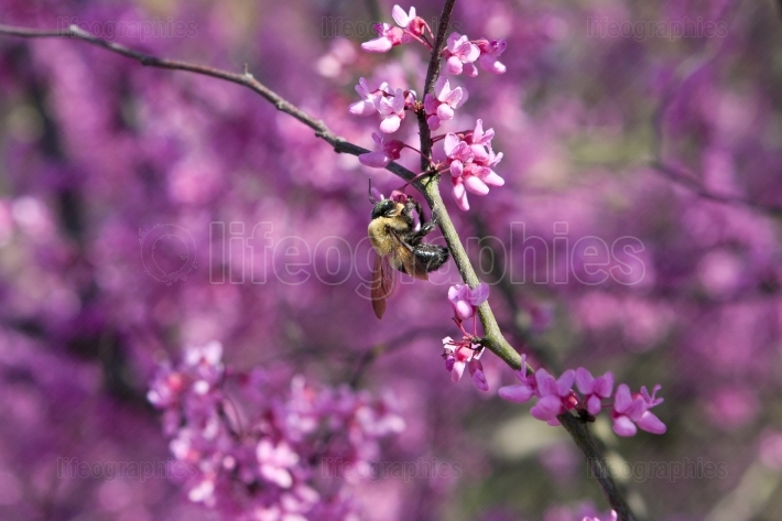 Bumble bee pollinates pink blossoms on tree