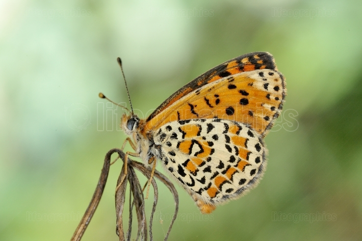 Butterfly in natural habitat in spring (melitaea aethera)