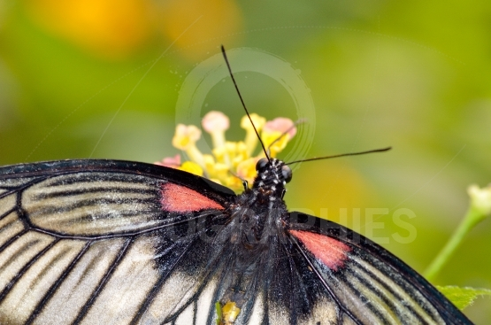 Butterfly on plant (Great Mormon,Papilio memnon agenor)