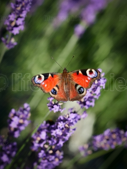 Butterfly on Purple Lavender Flowers