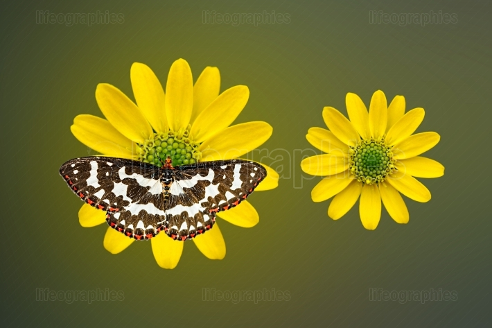 Butterfly on yellow Blooms