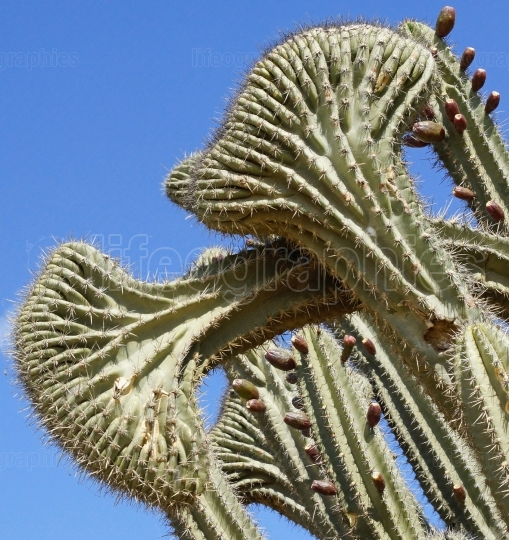 Cactus, Aruba, ABC Islands