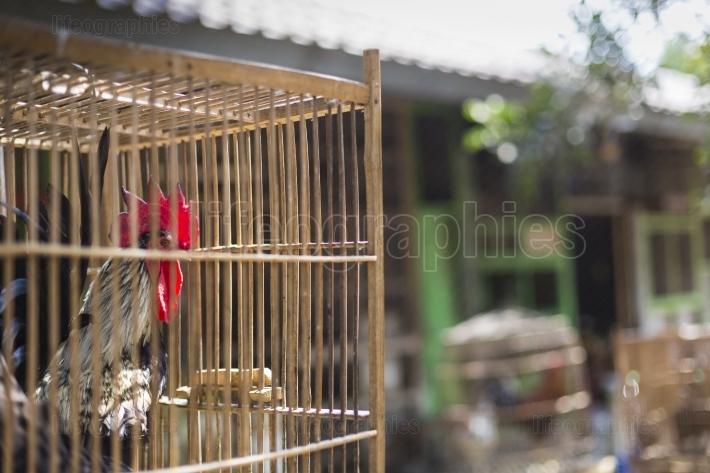 Caged rooster ready to sell at street market in yogjakarta, indo