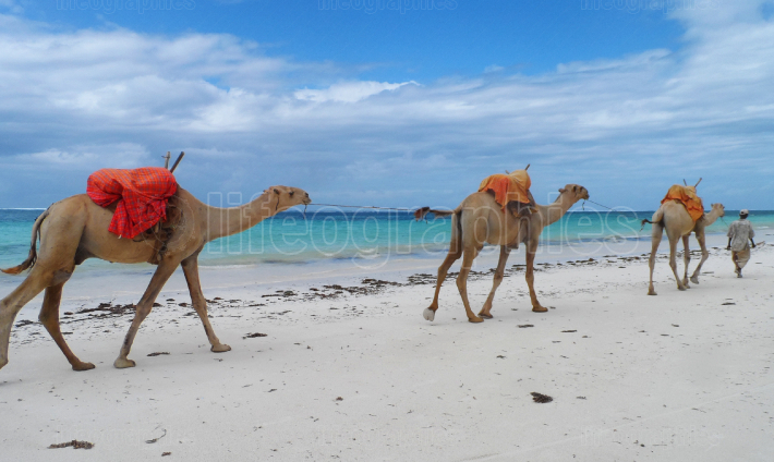 Camels crossing a white beach