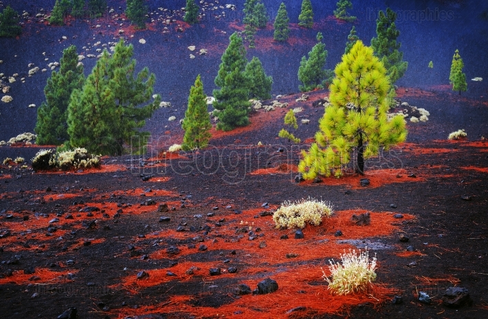 Canary pine tree on the slope of the volcano Teide on Tenerife.