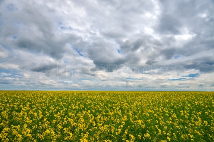Canola or rape field and cloudy sky nature background