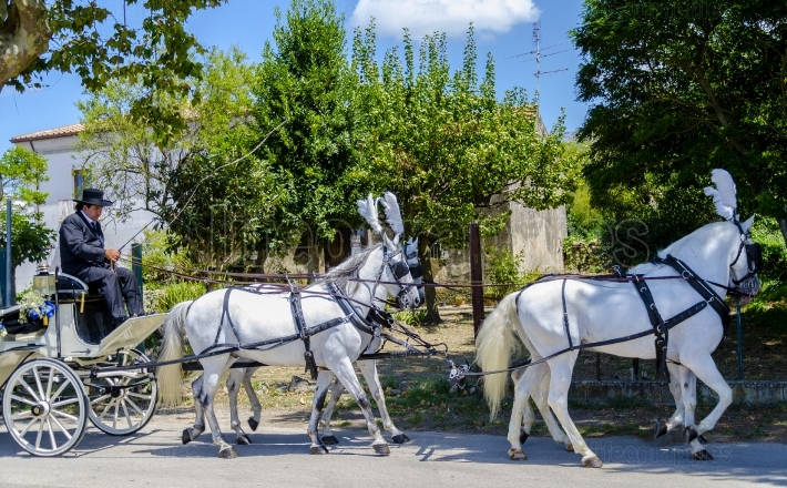 Capaccio, Italy   August 15, 2014  A traditional carriage driven by a coachman and drawn by four white horses, used for the transport of a married couple after the celebration of marriage in church