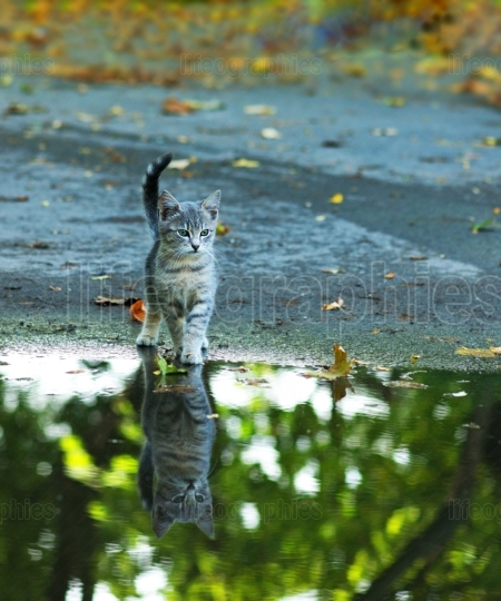 Cat sitting at the edge of rain puddle. reflection in the water