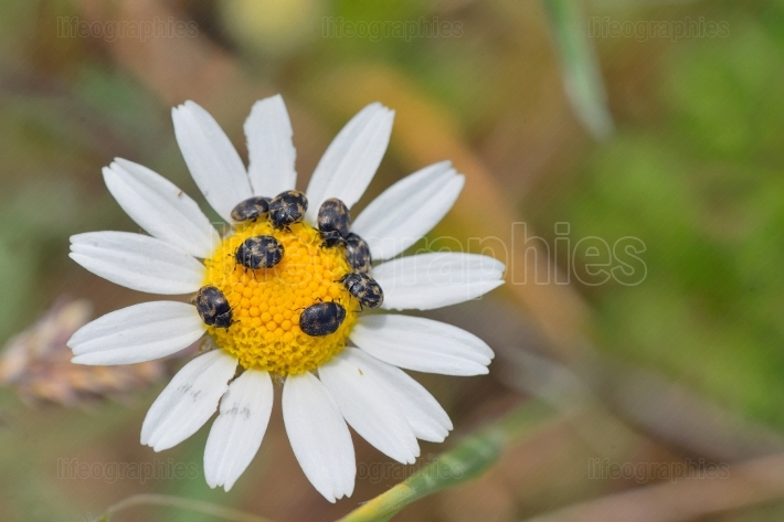 Chamomile flower and small bugs