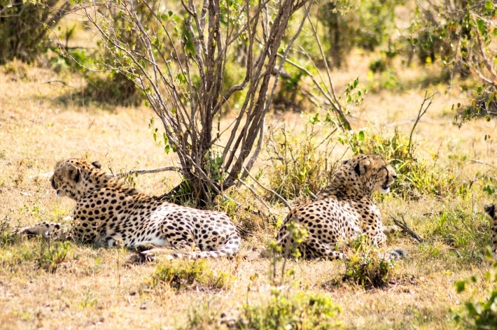 Cheetah lying in the shade of a bush in the savannah of the Masa